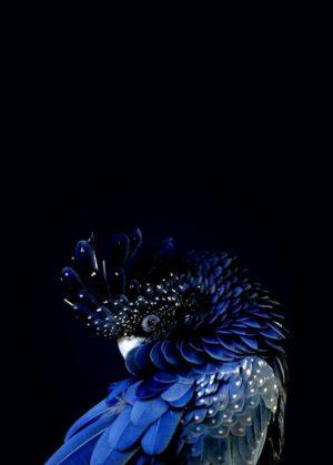 Plakat na ścianę Navy Blue Parrot
