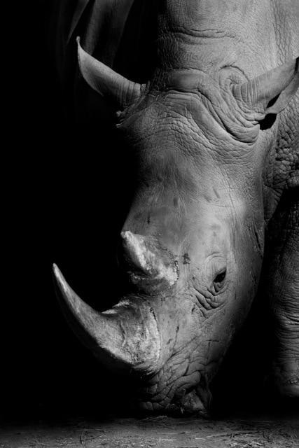Plakat na ścianę Rhinoceros