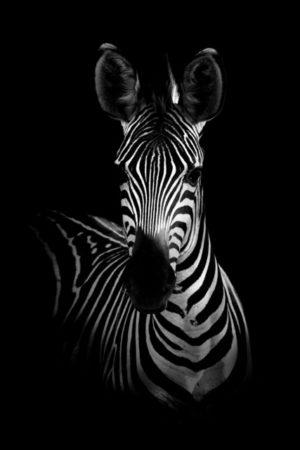 Plakat na ścianę Zebra 3