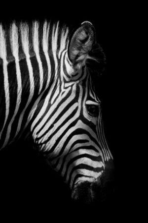 Plakat na ścianę Zebra 1